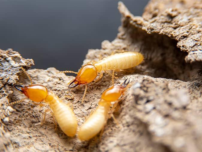 three termites all eating a new jersey home