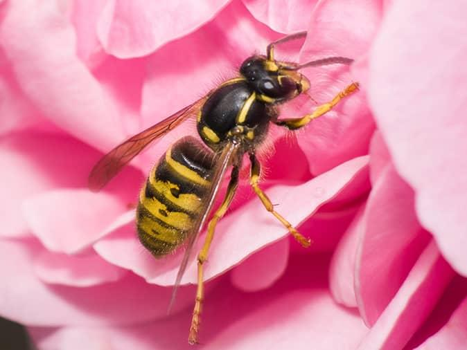 yellow jacket on a flower outside a new jersey home