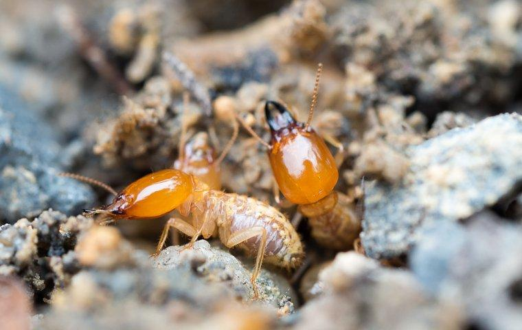 two termites on the ground outside of house