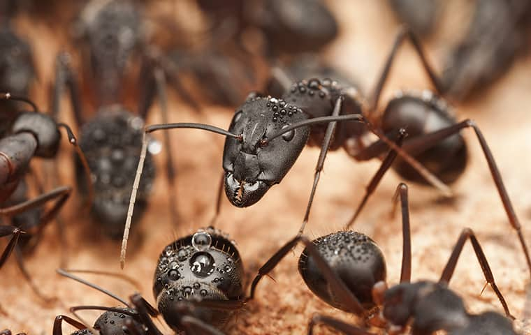 group of black ants working around a colony in argyle texas
