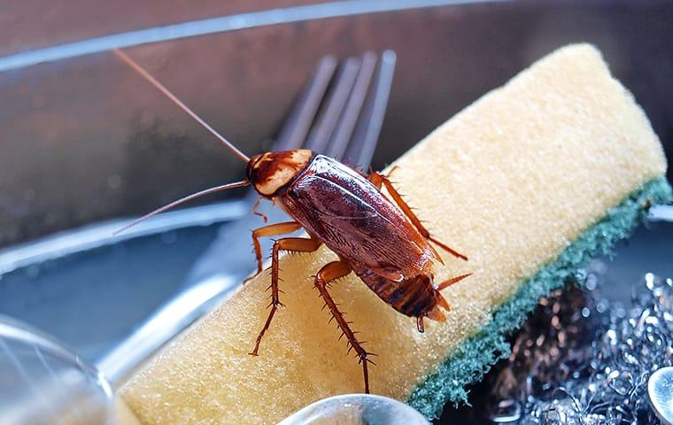 an american cockroach crawling along a dallas texas kitchen sponge
