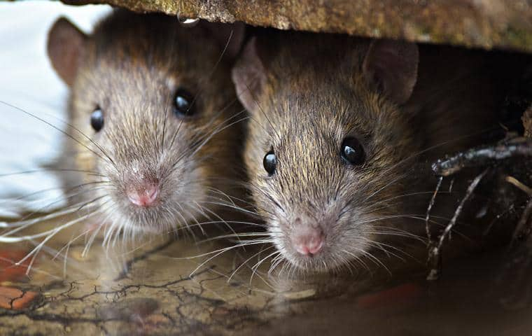 two mice hiding under a homes cabinets