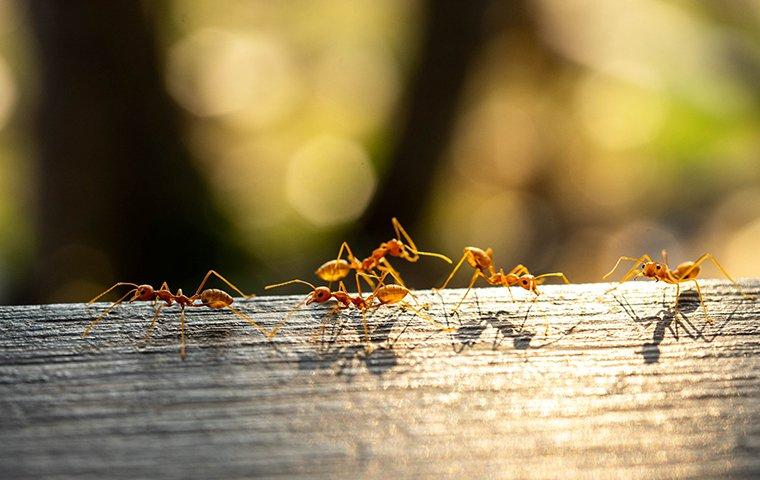fire ants climbing on a fence