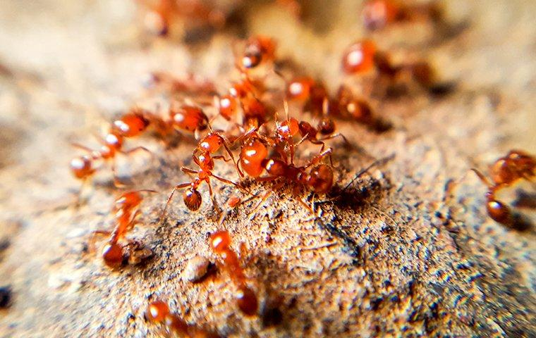 a group of fire ants on a mound