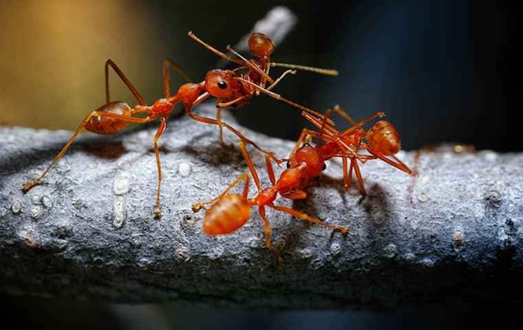 four fire ants fighting