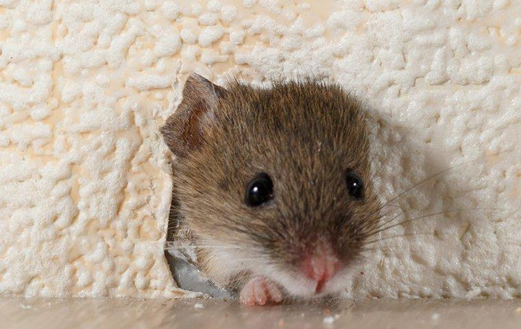 house mouse chewing through a wall