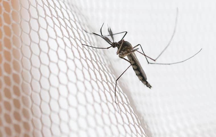 a mosquito siting on a mesh surface as it tries to get through to a texas resident