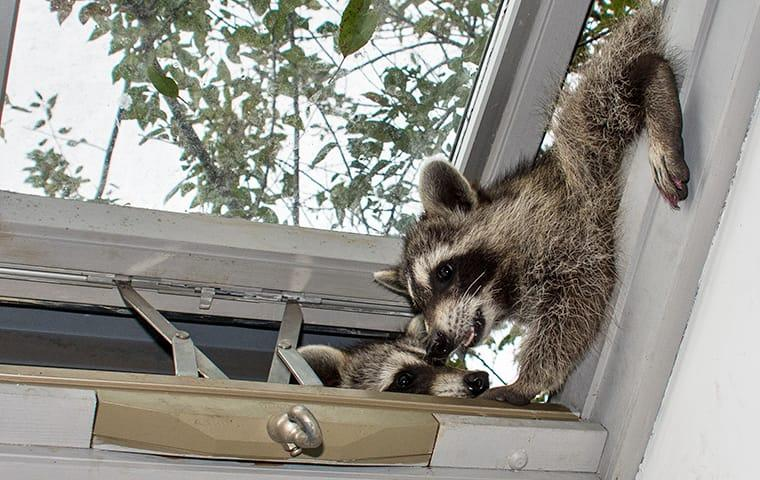 a couple of mischievous raccoons crawling into a dallas home through the skylight window