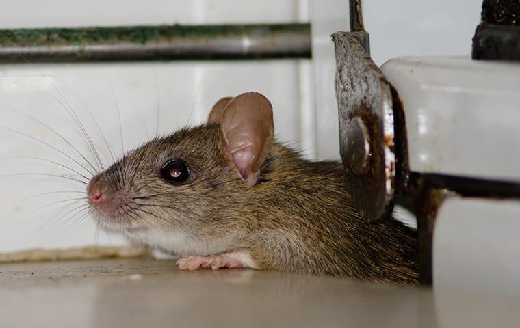 a house mouse inside of a dallas texas home