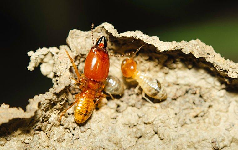 a termite infestation being controled