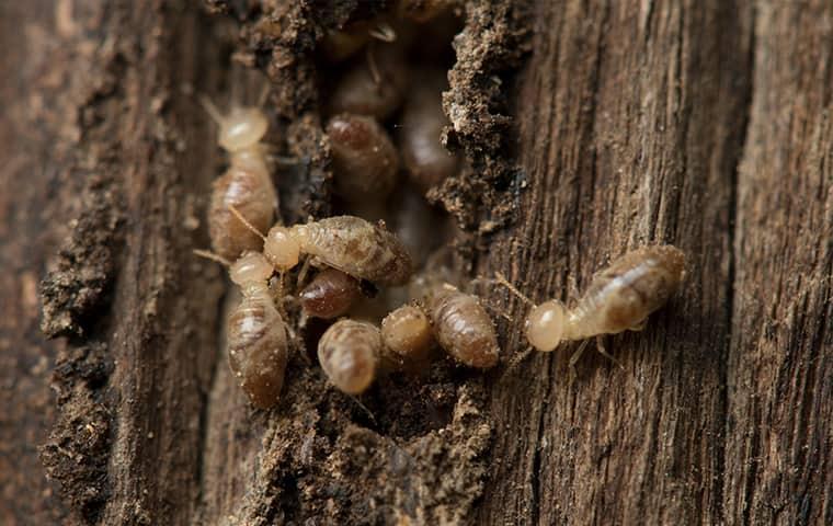 termites in lewisville texas