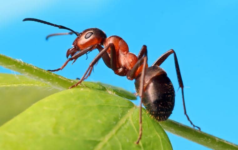 reddish adult ant crawling on a green leaf with a sunny sky