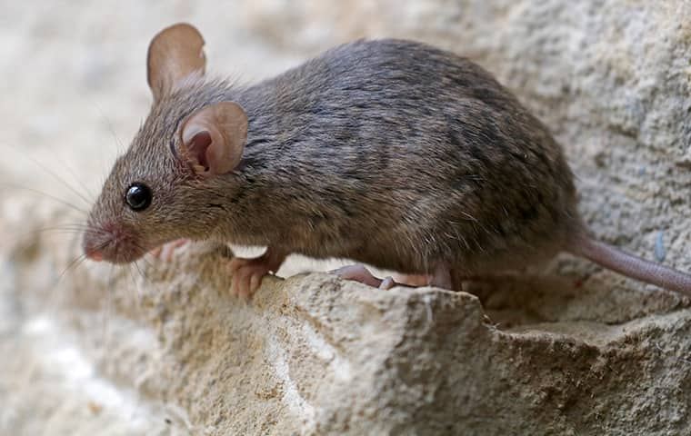 small house mouse in the yard of a business in the town of coppell