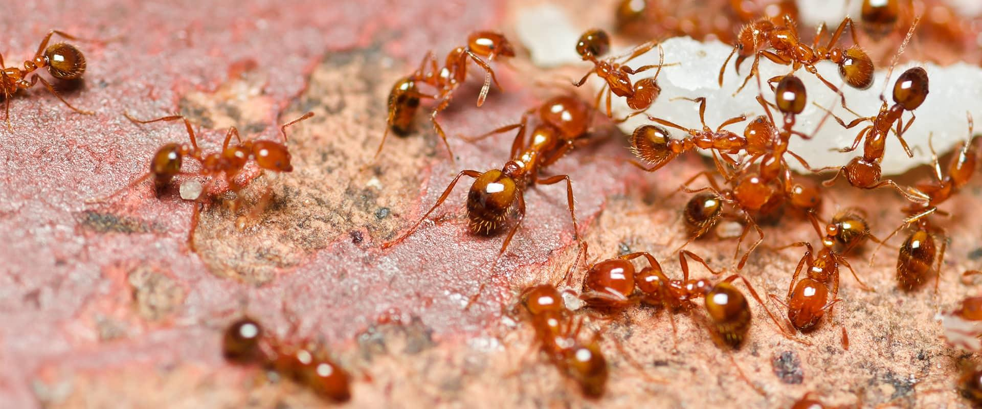 red fire ants outside keller tx home
