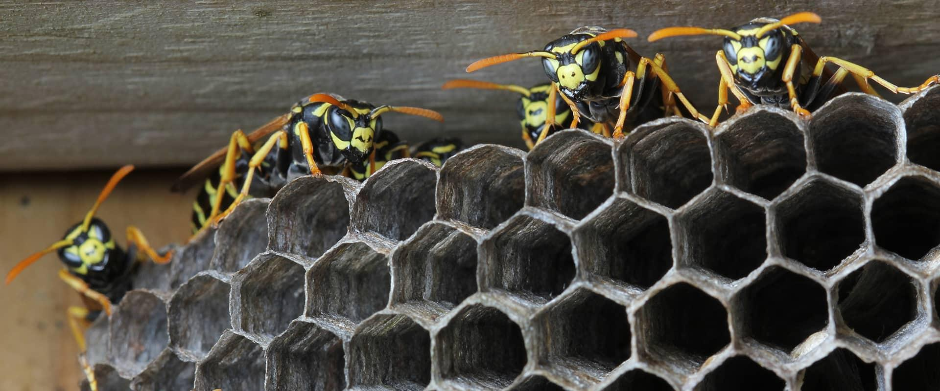 yellow jackets on a nest built on the eaves of a frisco tx home