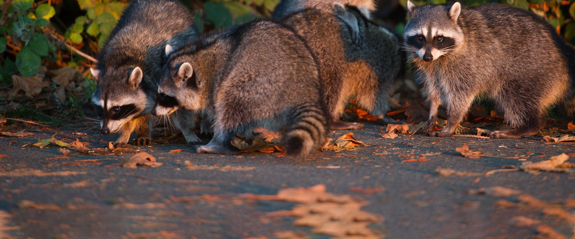 raccoons scavenging in a frisco tx yard