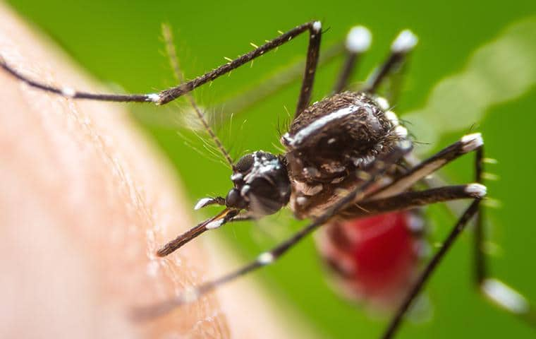 mosquito about to bite and get a blood meal from a person