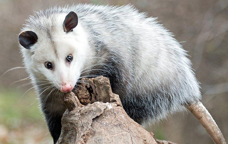 opossum up close
