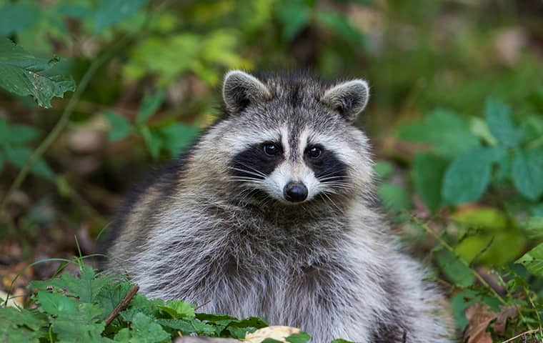 raccoon sitting up in the yard of a highland village resident