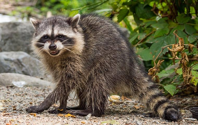 adult raccoon crossing a walking path in lewisville texas