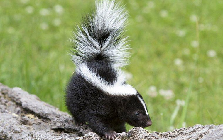skunk up close