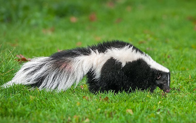 skunk on green lawn