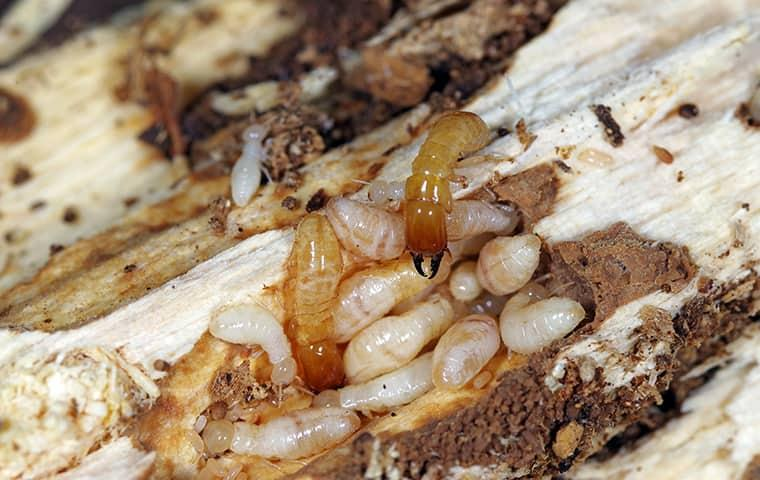 learn more about termite control in texas