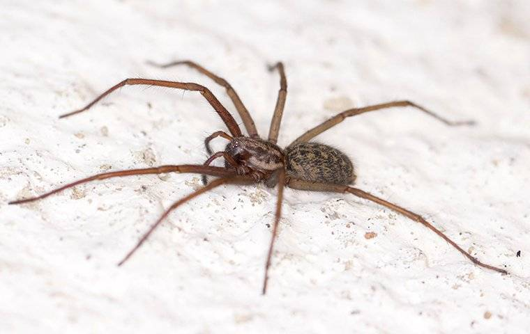 common house spider in a knoxville home