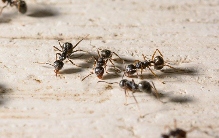 little black ants searching for food in home
