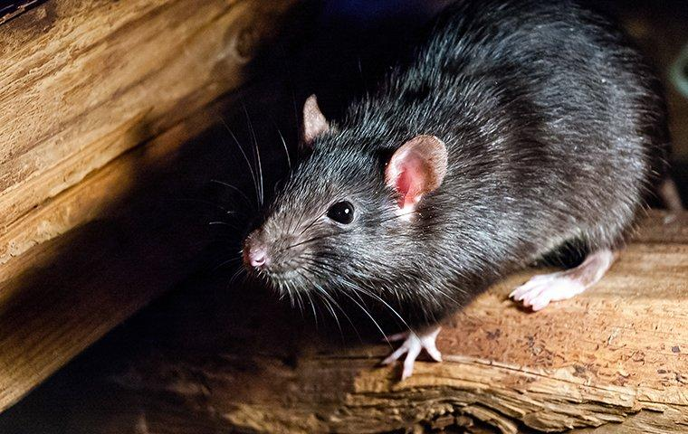 roof rat on stacked fire wood