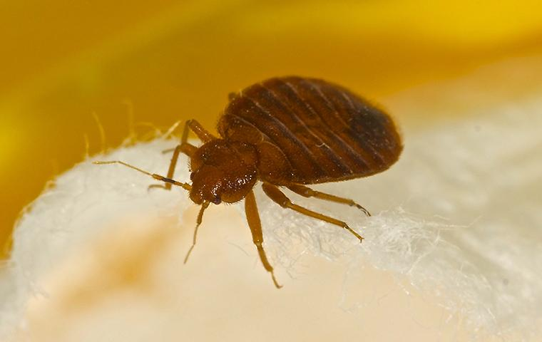 bed bug on mattress in bedroom