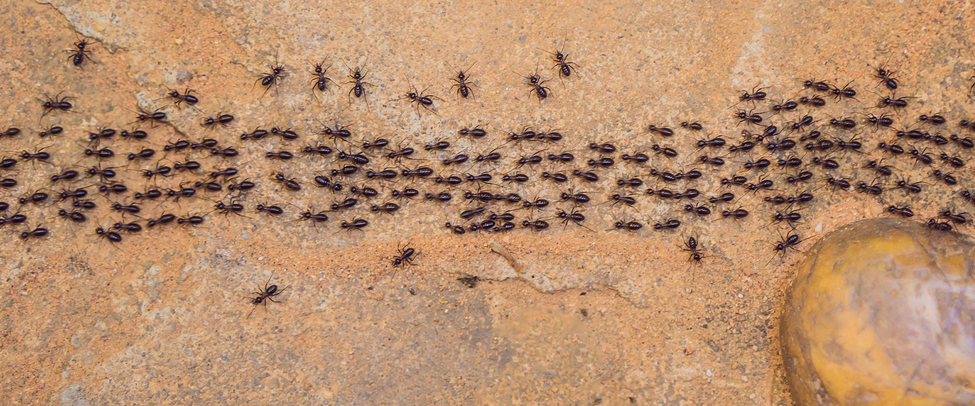 ants marching on dirt