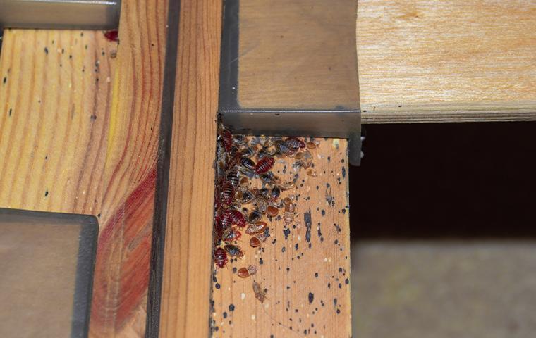 bedbugs on a bed frame