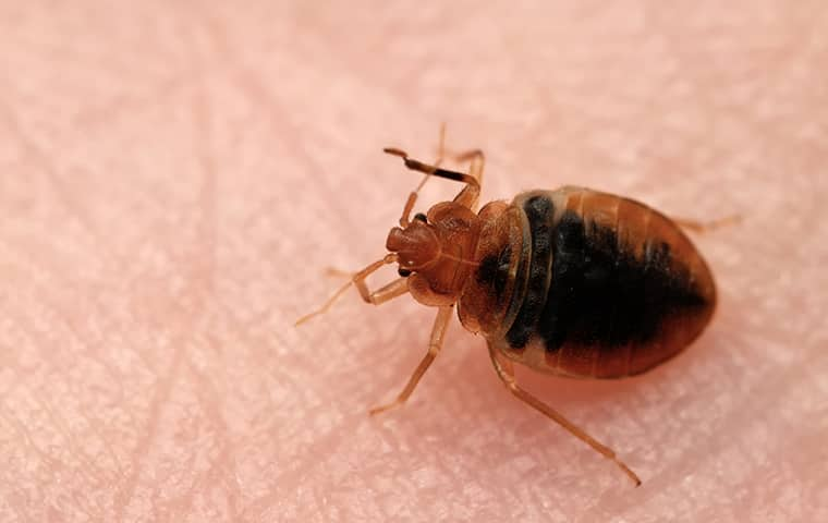 a bed bug on persons leg in st charles illinois