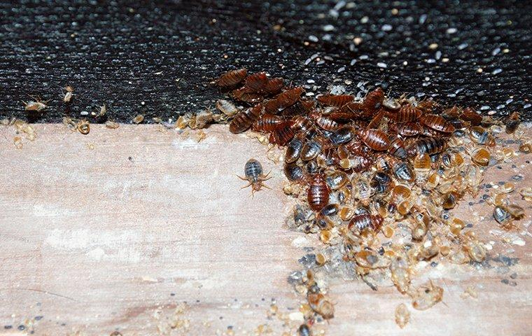 dozens of bed bugs infesting a mattress