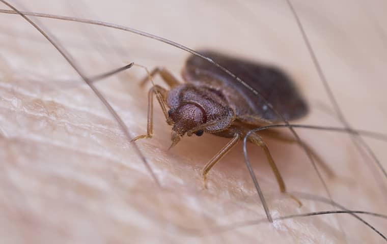 a full grown adult bed bug crawling alog the fair skin of an illinois resident as it is in position to bit