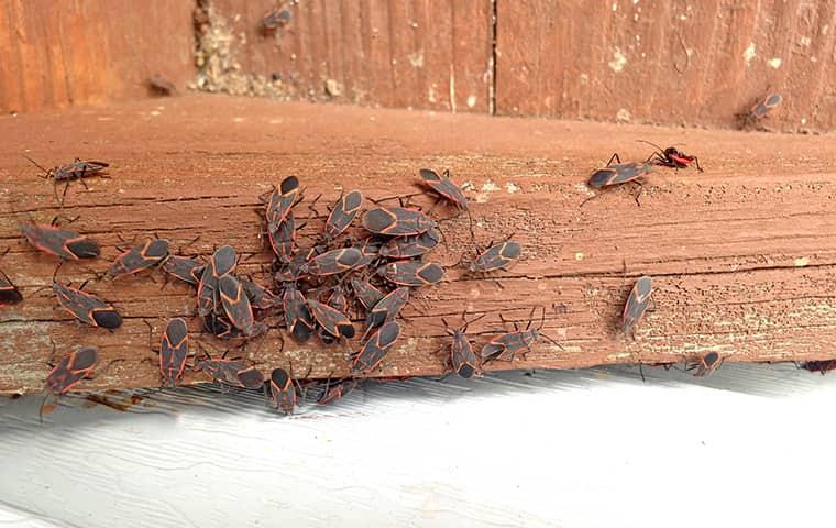 many box elder bugs crawling on a window sill