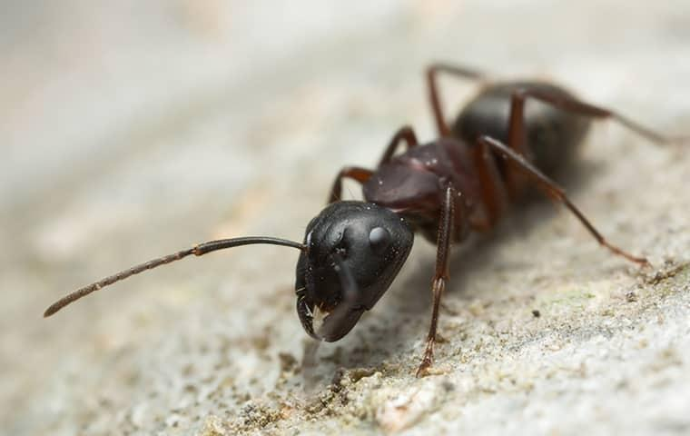 a carpenter ant outside of a home in dixon illinois