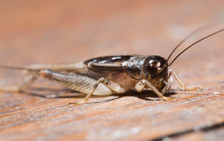 a cricket crawling across the wooden floor of a dixon illinois porch