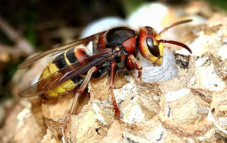 a hornet on his nest resting in the breezeway of an illinois porch