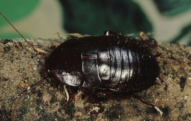 oriental cockroach on landscaping