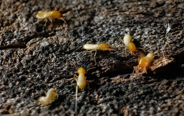 a colony of swarming termites making their home in a dixon illinois residence