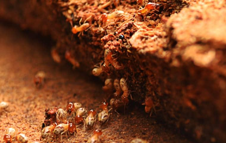 termites in a home