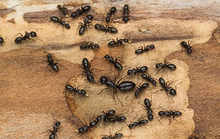 a colony of carpenter ants on damaged wood in dixon illinois