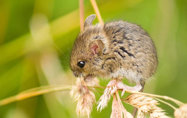 a field mouse outside a home in st charles illinois