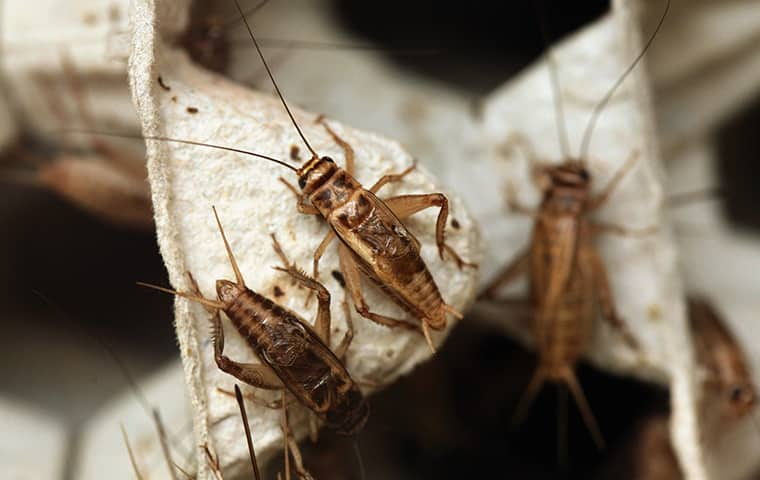 many crickets infesting a home in dixon illinois