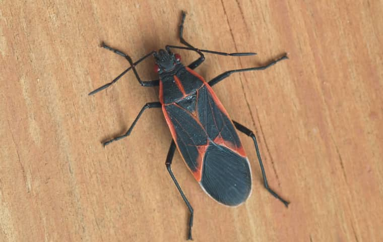 a box elder bug on a table in a home in sycamore illinois