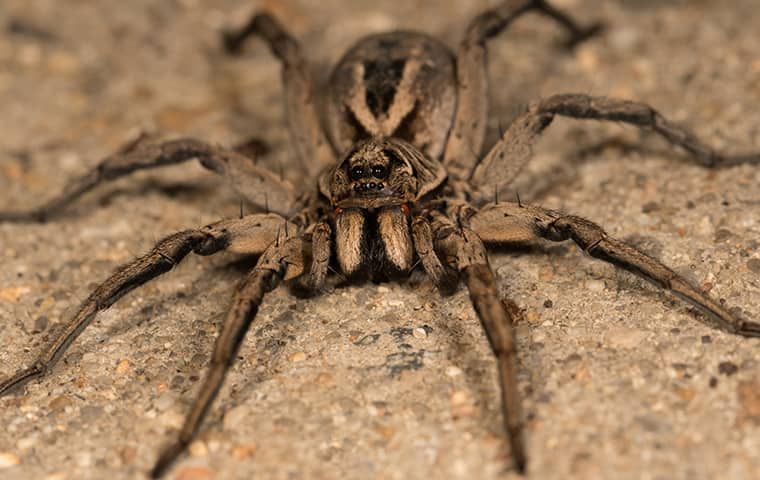 a wolf spider outside of a home in maple park illinois