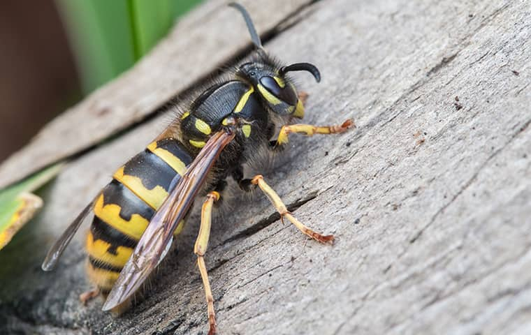 a yellow jacket outside a home in st charles illinois