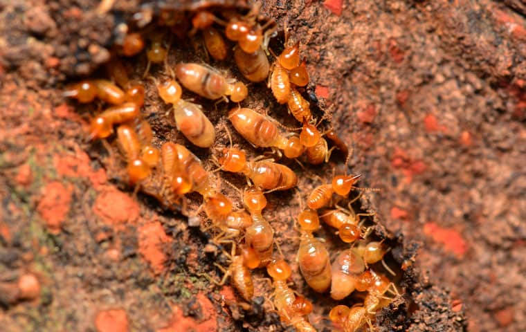 a termite colony crawling on damaged wood in dekalb illinois